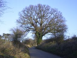 Oak on the driveway to All Nations
